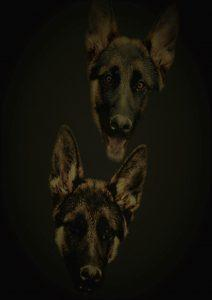 Two German shepherd